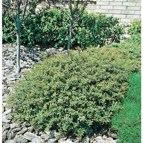 Dwarf Yaupon Holly