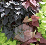 Potato Vine 4""