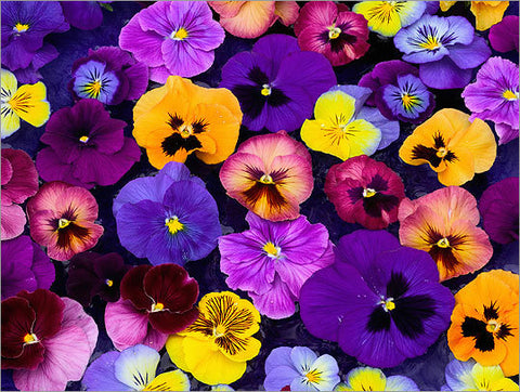 Pansy - 18 Count Flat
