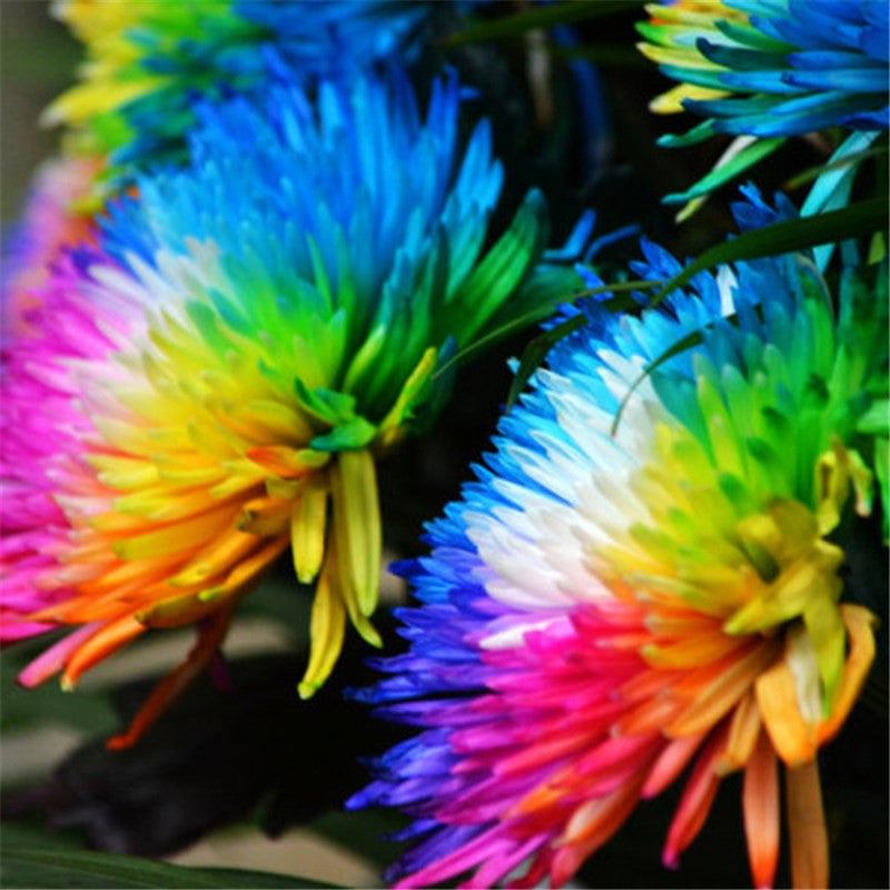 100pcs/lot Rainbow Chrysanthemum Flower Seeds