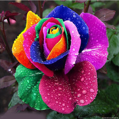 Romantic 500Pcs Rainbow Rose Seeds Multi Colored Fragrant Flower Home Garden Decoration