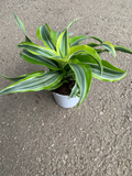 Dracaena Lemon Surprise