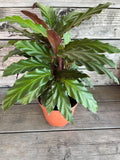 Calathea rufibarba (Furry Feather Calathea)