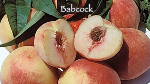 Babcock White Peach