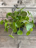 Pilea peperomioides (Chinese Money Plant)