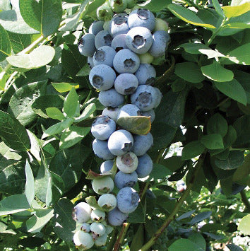 Emerald Southern  Blueberry