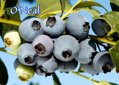 O'Neal Southern Highbush Blueberry