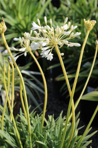 Agapanthus 'Peter Pan Alba' White Dwarf Lily of the Nile