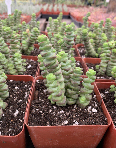 "Crassula Perforata ""Baby Necklace"""