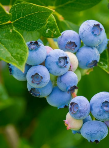 Legacy Northern Blueberry