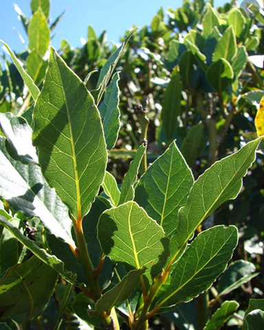 Laurus nobilis 'Bay Laurel'