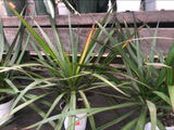 Dracaena marginata Tips
