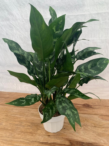 Aglaonema Maria (Maria Chinese Evergreen)