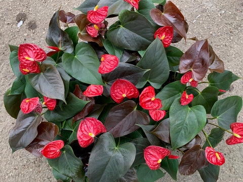 Anthurium Coral Champion