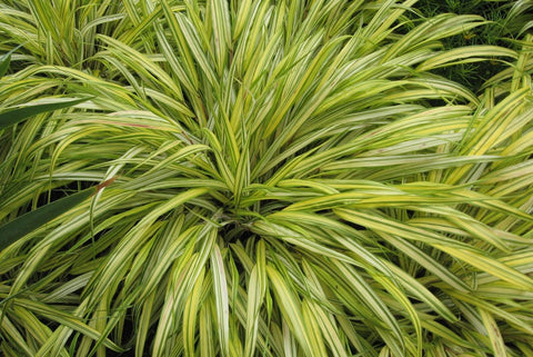 Hakonechloa macra 'Aureola' (Golden Variegated Japanese Forest Grass)