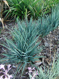 Dianella revoluta Baby Bliss (Baby Bliss Flax Lily)