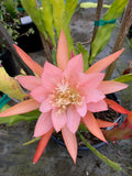 Epiphyllum Blushing Star