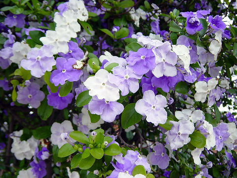 Brunfelsia pauciflora (Yesterday, Today and Tomorrow)