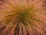 Carex testacea (Orange Sedge)