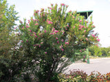 Chilopsis linearis 'Burgundy' (Burgundy Desert Willow)