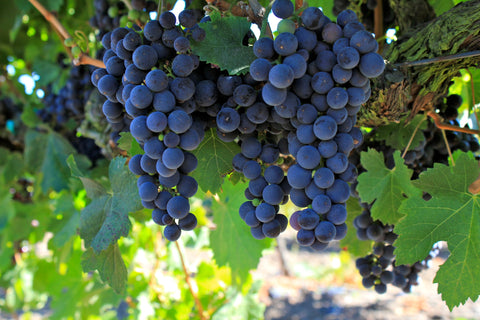 California Concord (Isabella) Grape