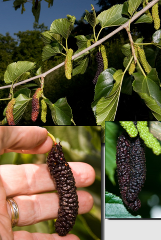 (Cooke's) Pakistan Fruiting Mulberry