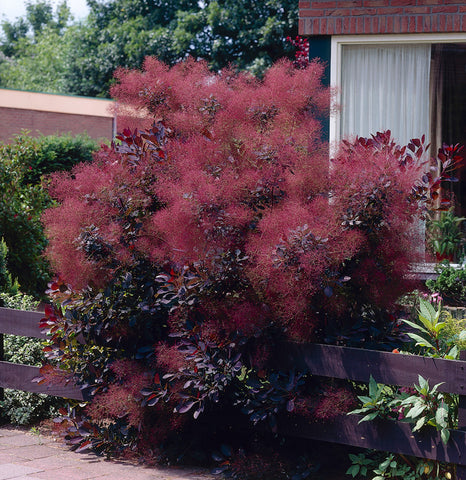 Cotinus coggygria 'Royal Purple' (Royal Purple SmokeTree)