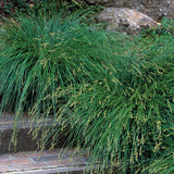 Carex divulsa (Berkeley Sedge)