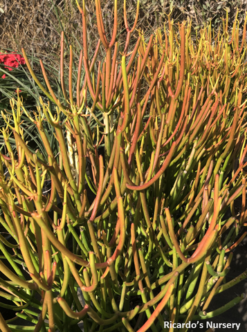 Euphorbia tirucalli 'Sticks on Fire' (Red Pencil Tree)