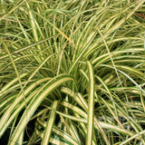 Carex oshimensis 'Evergold' (Variegated Japanese Sedge)