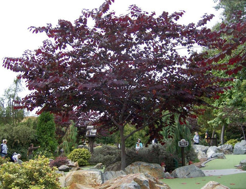 Cercis canadensis 'Forest Pansy' (Forest Pansy Redbud)
