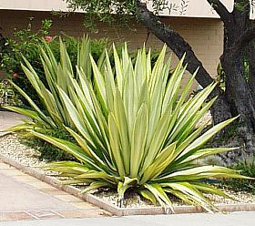 Furcraea foetida 'Mediopicta' (Variegated False Agave)