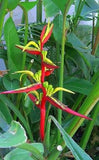 Heliconia schiedeana (Lobster Claw)