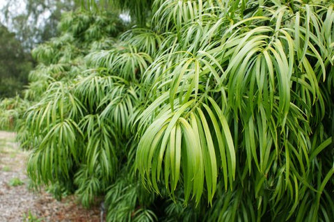 Podocarpus henkelii (Long Leafed Yellowwood)