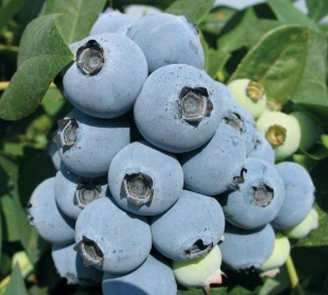 Jewel Southern Blueberry