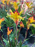 Anigozanthos 'Joe Joe Yellow' (Joe Joe Yellow Kangaroo Paw)