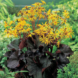 Ligularia dentata 'Midnight Lady'