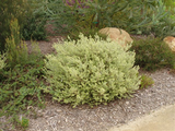 Westringia fruticosa 'Morning Light' (Variegated Coast Rosemary)
