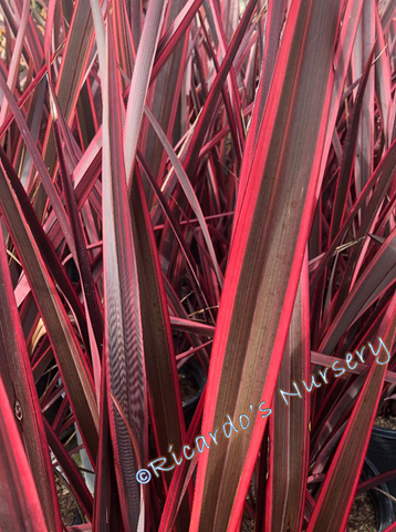 Phormium 'Guardsman' (New Zealand Flax)