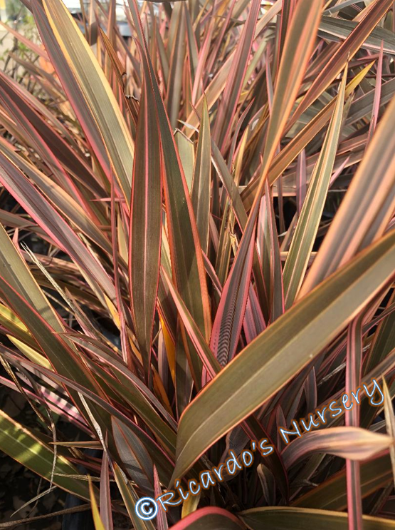 New Zealand Flax Lily in 9cm Pot Rainbow Queen Stunning Variegated ...
