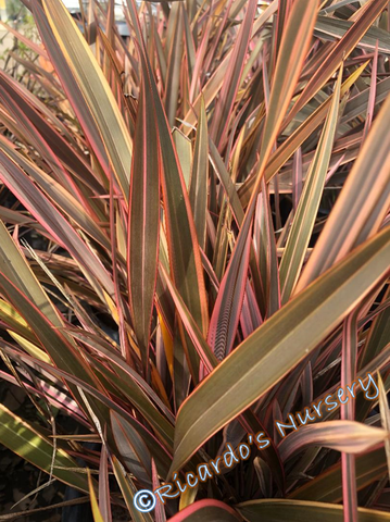Phormium 'Maori Queen' (New Zealand Flax)