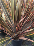 Phormium 'Sundowner' (New Zealand Flax)