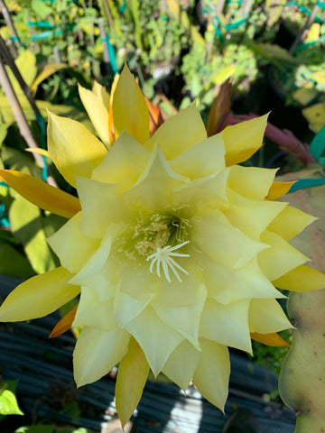Epiphyllum Princess Kelly S.