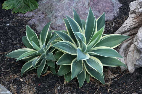 Agave attenuata 'Ray of Light' (Ray of Light Fox Taail Agave)