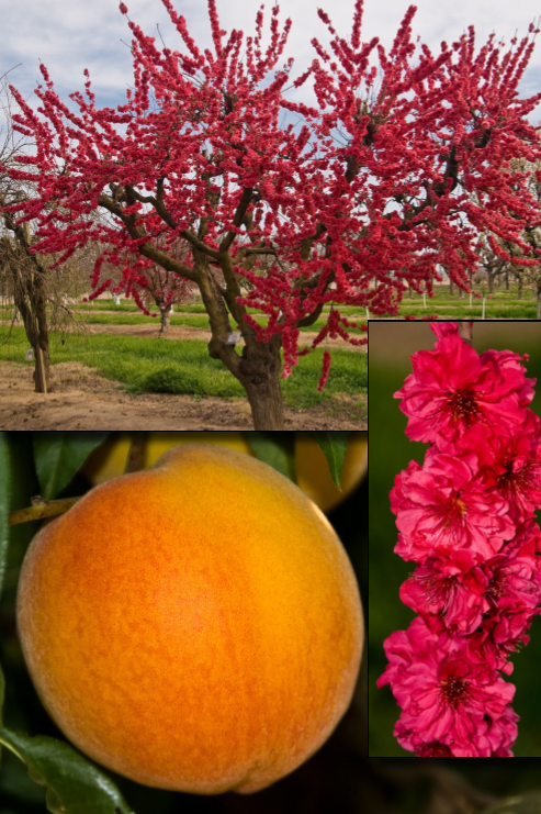 Red Baron Peach Ricardos Nursery