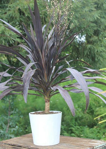 Cordyline Renegade