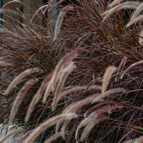 Pennisetum setaceum 'Rubrum' (Purple Fountain Grass)