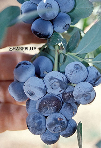 Sharpblue Southern Blueberry