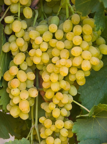 Summer Muscat Seedless Grape
