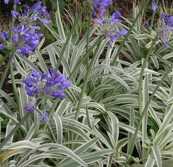 Agapanthus 'Tinkerbell' (Dwarf Variegated Lily of the Nile)